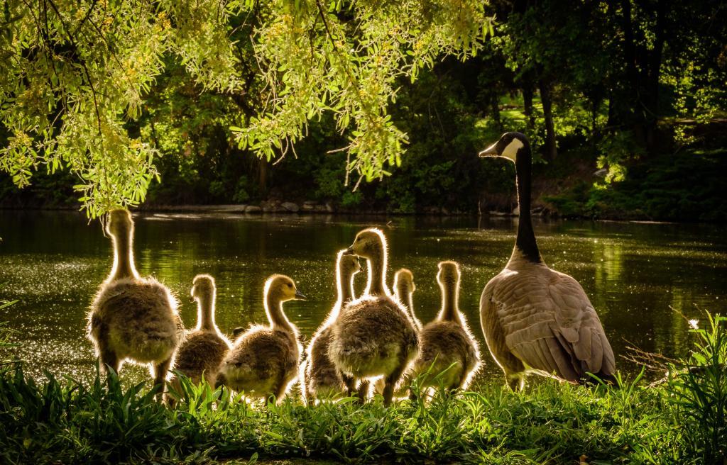 Geese Goslings Family